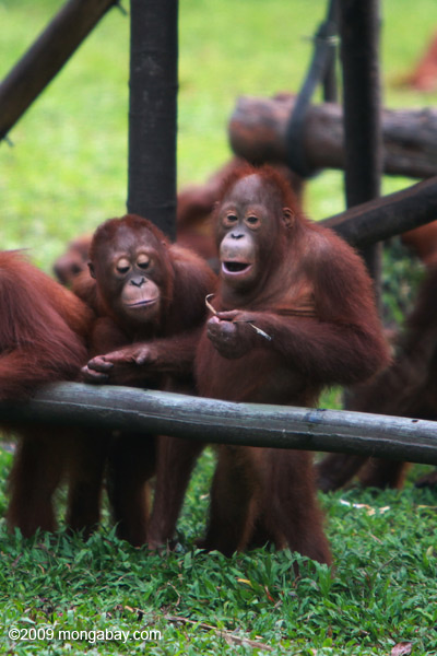 Environmental activists have used orangutans, like these orphans in Kalimantan, as key symbols for preserving Borneo's forests. However, forests continue to fall. Photo by: Rhett A. Butler.