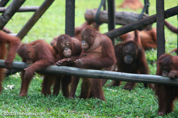 Group of orphaned orangutans at  the Borneo Orangutan Survival Foundation's facility in Nyaru Menten