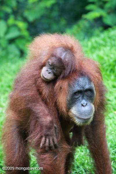 Mother orangutan carrying her baby near Gunung Leuser National Park in Morth Sumatra