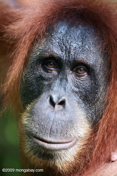 An orangutan on Sumatra. If the yeti did exist would it be more related to the orangutan or humans? In addition, some cryptozoologists believe there is a large undiscovered ape in Sumatra, dubbed the orang pendak. Photo by: Rhett A. Butler.