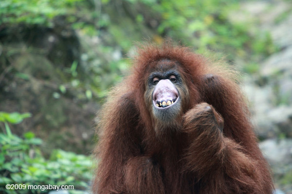 Orangutan making faces