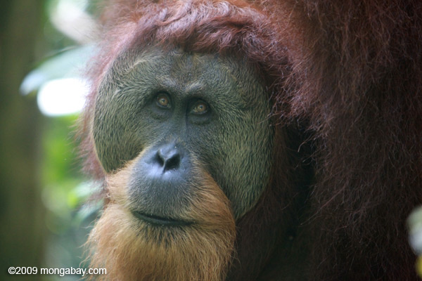 An adult male orangutan with a large face plate in Gunung Leuser National Park, Sumatra