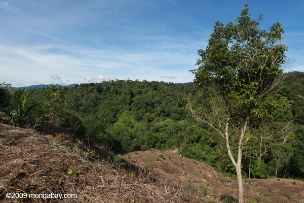 Forest clearing for an oil palm plantation at the edge of Gunung Leuser National Park in Sumatra. New research shows that forest loss on park edges can hugely impact biodiversity within. Photo by: Rhett A. Butler.