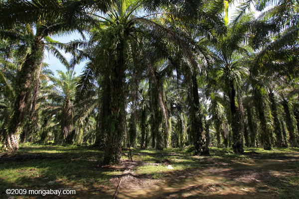 An oil palm estate in North Sumatra. Photo: Rhett A. Butler
