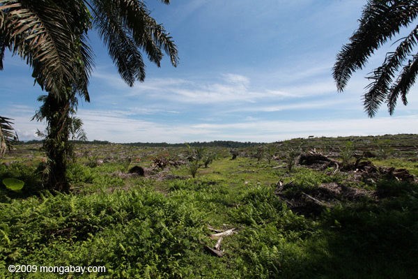 Replanting an oil palm plantation on the edge of Gunung Leuser National Park