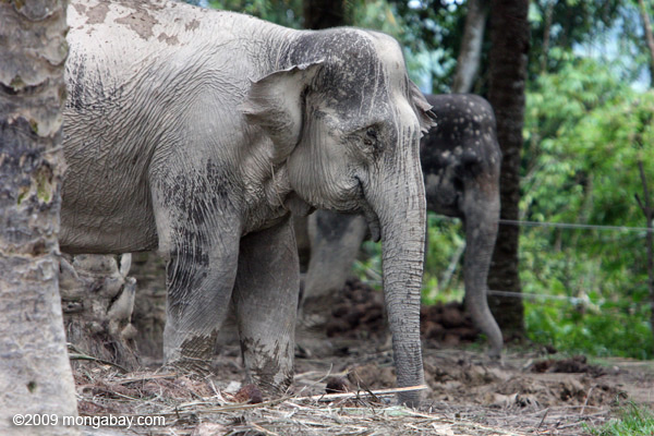 Sumatran elephant. Photo by: Rhett A. Butler.