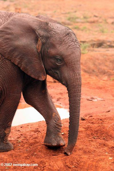 An infant at David Sheldrick Wildlife Trust, Kenya (East Africa).  Photo by Rhett A. Butler.