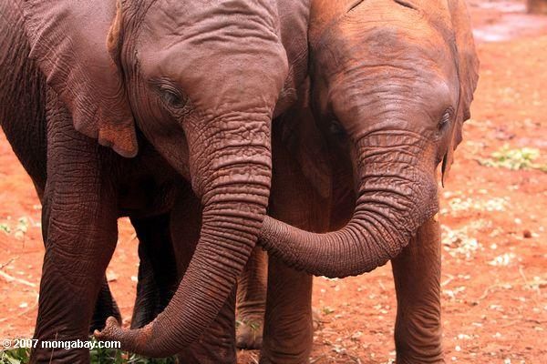 Infant elephants at the David Sheldrick Wildlife Trust in Kenya. Photo by: Rhett A. Butler.