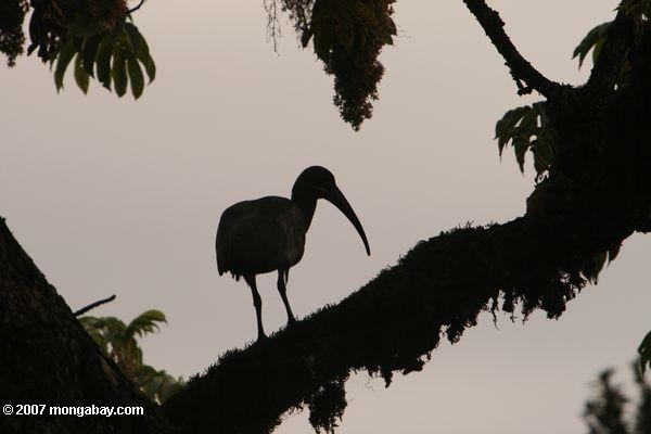 Photo: silhouetted ibis