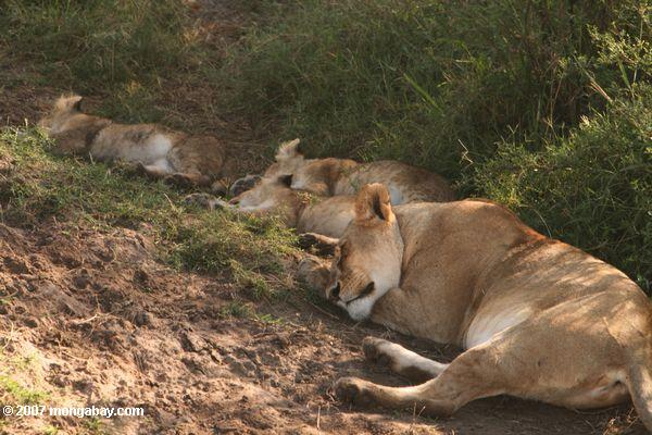 Mother lion sleeping with cubs in Kenya. Photo by: Rhett A. Butler.