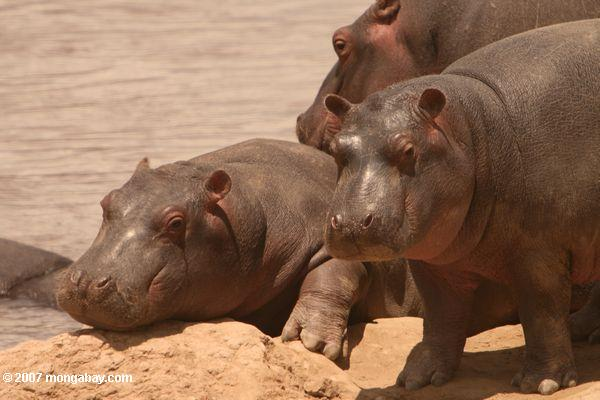 Photo: young hippos
