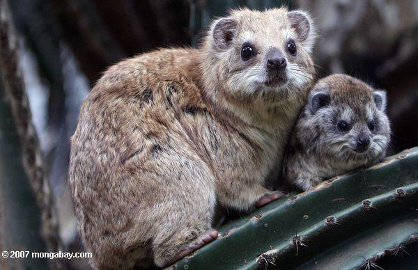 Southern Tree Hyrax with baby in Kenya. Photo by: Rhett A. Butler.