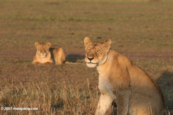 Lions in Kenya's Maasai Mara. In 2009, the Kenyan Wildlife Service warned that the nation's lion population could disappear in 10-20 years. Photo by: Rhett A. Butler.