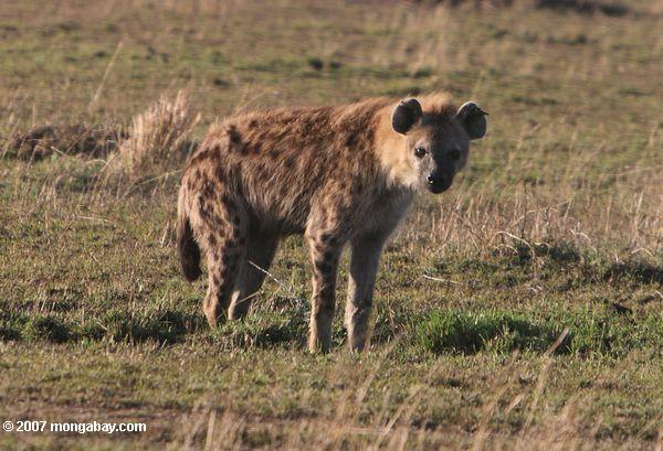 Spotted hyena in the Masai Mara. Photo by: Rhett A. Butler.
