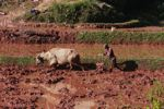 Man plowing a rice field with an ox