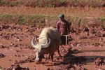 Ox-plowing a rice paddy