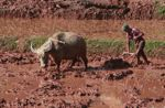Man plowing a rice paddy using an ox