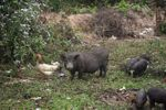 Hen, mother pig, piglets