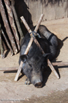 Pig in a wooden stock - punishment for going were it wasn't allowed