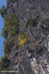 Blooming shrub growing out of a Karst cliff along the Nam Ou river