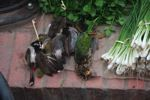 Dead song birds for sale in the Luang Prabang morning market