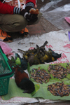 Songbirds and tadpoles in the Luang Prabang morning market
