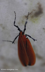Red-orange insect