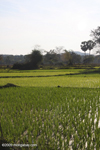 Rice fields on Don Khong