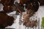 Frogs tied together for sale as food in a market in Laos