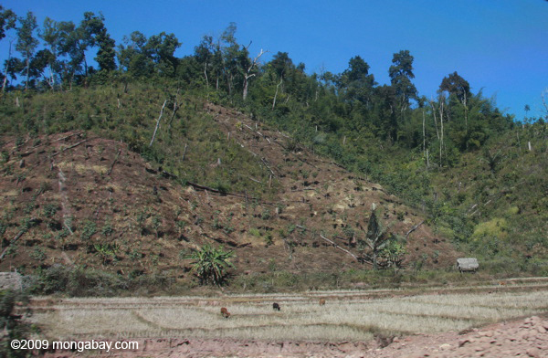 Forest clearing for a rubber plantation