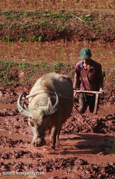 Oxplowing a rice paddy