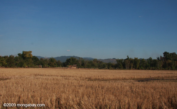Dry rice field in Luang Namtha District