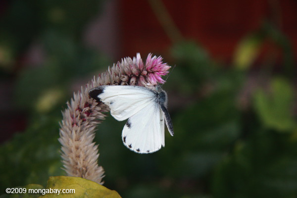 White butterfly with its wings in a 'forward' position