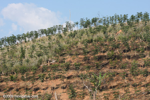 Newly established rubber plantation in Laos