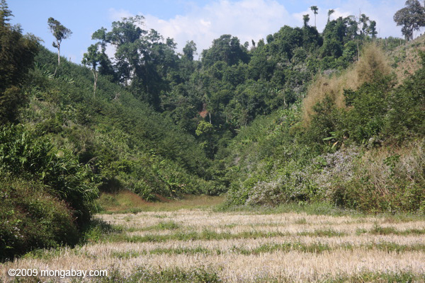 Dry rice in a valley