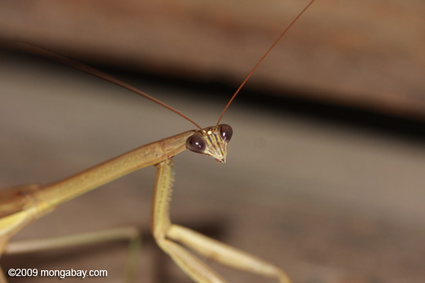 Beige praying mantis