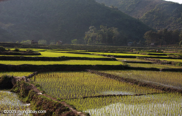 Green rice paddies in Udomxai province