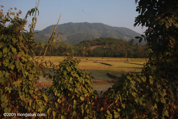Green rice fields and limestone karst mountains in Udomxai province