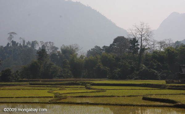 Rice fields in Luang Prabang province