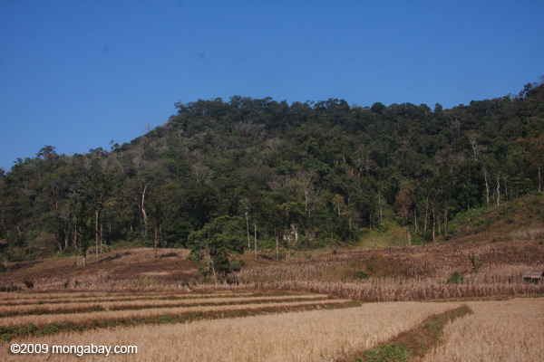 Deforestation and dried rice fields