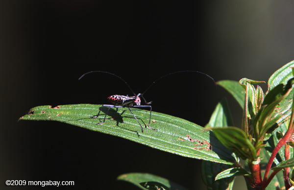 Colorful horned beetle - photo#8