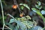Orange, black, and white butterfly