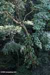 Epiphytes in the Bornean rainforest canopy