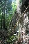 Roots of rainforest trees growing down a rock face -- borneo_3701