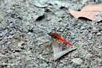 Bright red dragonfly -- borneo_3908