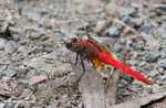 Bright red dragonfly