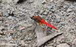 Bright red dragonfly -- borneo_3910