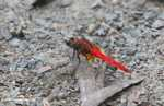 Bright red dragonfly -- borneo_3912