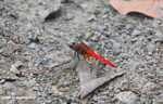 Bright red dragonfly -- borneo_3913