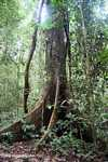 Buttress roots of a canopy tree -- borneo_3975